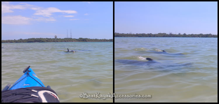 Dolphins at Shell Key in Saint Petersburg Florida ©2019 All rights reserved