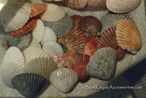 Scallop shells from Shell Key near Tierra Verde, FL ©2019 All rights reserved.
