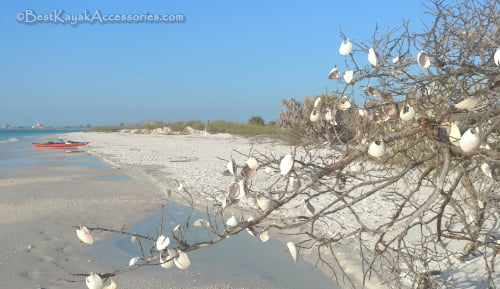 Shells in the tree at the beach of Shell Key