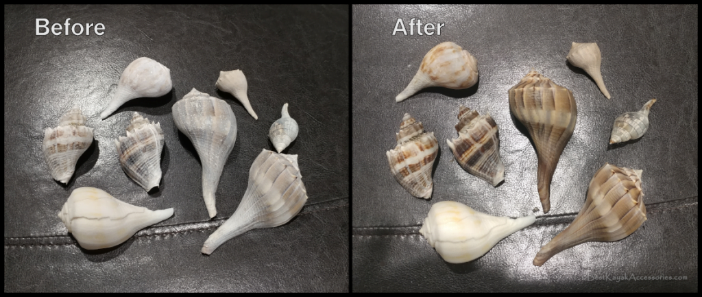 Seashell Restoration - Before mineral oil and After ©2020 Best Kayak Accessories